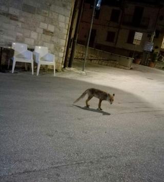 """Molise, una volpe diventa la """"mascotte"""" del paesino: ogni sera va in piazza a caccia di cibo"""
