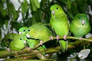 """Invasione di pappagalli verdi a Bari: """"Colpa del clima tropicale. Danni ai raccolti nelle campagne"""""""