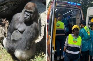 Madrid, guardiana dello zoo sorprende gorilla a fare colazione: le spezza le braccia, è grave