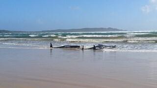 Tasmania, 70 balene spiaggiate in una baia: corsa contro il tempo per salvarle