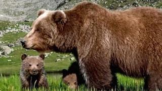 L'Orsa jj4 resta libera, sospesa ordinanza di cattura per l'animale che ha attaccato padre e figlio