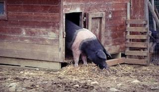 Salta dal tir che la porta al macello e scappa, per la maialina Senia arriva una nuova casa