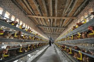 Focolaio di influenza aviaria nella prefettura di Kanagawa: è il primo in Giappone da tre anni