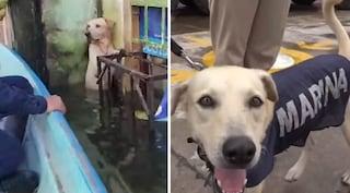Salvato dall'alluvione e mai reclamato, labrador arruolato nella Marina messicana come cane soccorso