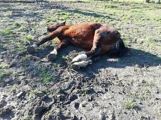 Giallo a Volterra: cavallo morto all'improvviso in un centro ippico. È il 18esimo in meno di 2 anni