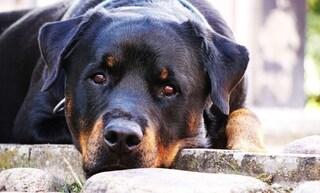 Asti, deve traslocare e non può tenere i cani: ora uno è morto avvelenato, l'altro è grave