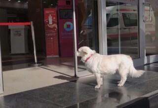 Il padrone è ricoverato, la cagnolina segue l'ambulanza e lo attende tutti i giorni fuori l'ospedale