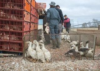 In Francia è emergenza aviaria: abbattute circa 350mila anatre