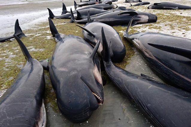 Strage di balene in Nuova Zelanda: circa 50 arenate sulla spiaggia. Nove sono morte