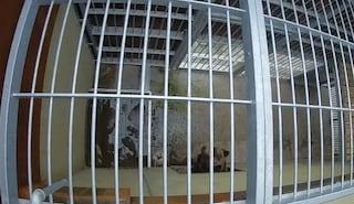 """""""Casteller solo un carcere per gli orsi"""", blitz di attivisti diffonde foto delle gabbie in Trentino"""