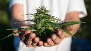 La proposta di legge per consentire la coltivazione della cannabis in casa per uso personale