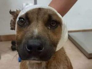 Il cane a cui hanno tagliato le orecchie, dopo le cure dal veterinario