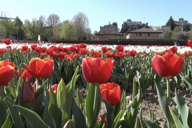 Bologna dà il benvenuto alla primavera con 250 mila tulipani: apre il Tulipark
