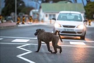 A capo di gang di scimmie terrorizzava i residenti: babbuino catturato e ucciso con iniezione letale