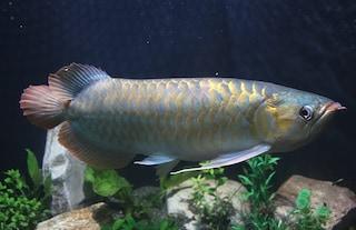 Evasori fiscali ma in casa avevano rarissimo pesce drago venduto anche a 300mila euro