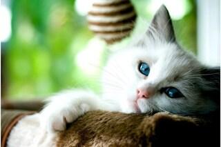 Regno Unito, due gatti hanno contratto il Covid dai padroni: uno è morto di polmonite