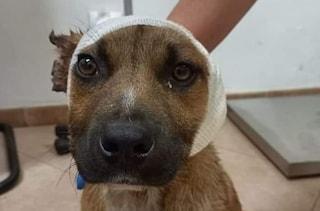 Ragusa, bimbi di 10 anni mozzano le orecchie al cane randagio con le forbici per divertimento