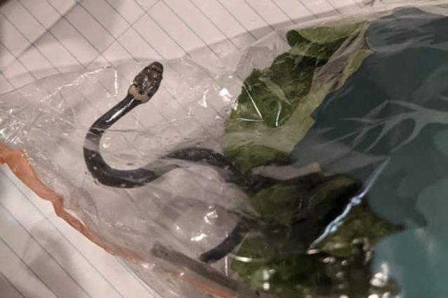 Il serpente ritrovato in un'insalata in Australia (foto Facebook)
