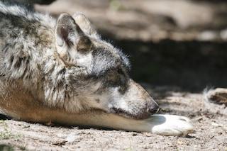 Bologna, investono lupo e scappano: ritrovato in fin di vita sul ciglio della strada