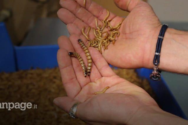 """Veneto prima regione ad approvare gli allevamenti di insetti: """"Perfetti per uno snack"""""""