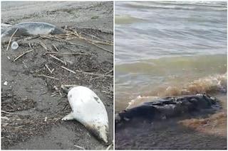 Sulle rive del Mar Caspio 170 foche morte: si indaga su inquinamento industriale e pesca abusiva
