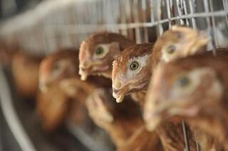 In Cina il primo caso umano di nuova influenza aviaria H10N3: contagiato un 41enne di Jiangsu