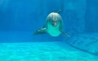 Lutto all'Oltremare di Riccione, il delfino Veera muore a 43 anni
