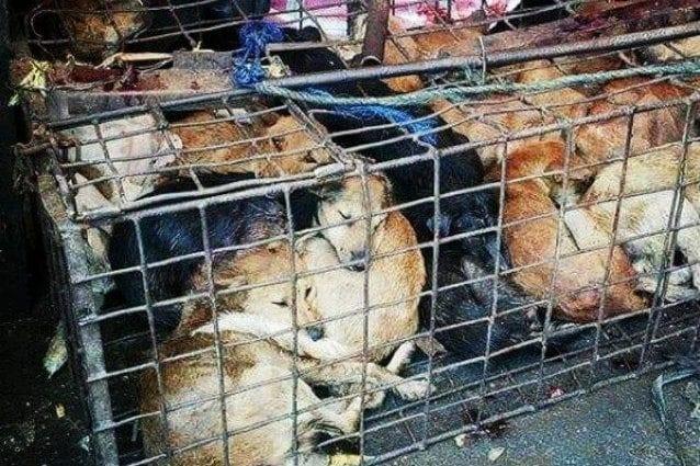Festival di Yulin, la crudeltà dell'uomo e il dolore degli animali che tutti dovremmo vedere