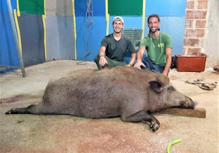 Abbattuto un cinghiale gigante a Terni: pesava più di duecento chili