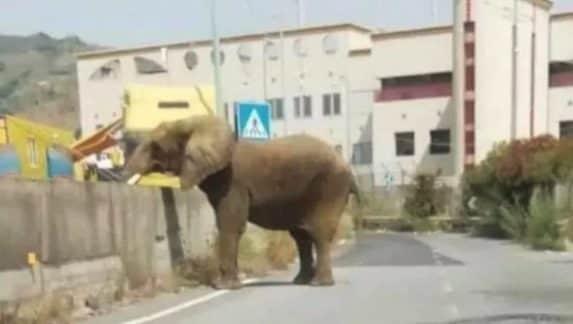 Messina: elefante fugge dal circo e va in giro per le strade della città