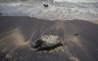 Centinaia di tartarughe morte sulle coste dello Sri Lanka: la strage dopo il naufragio del cargo