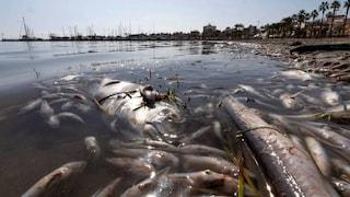 """In Spagna tonnellate di pesci stanno morendo nel Mar Menor per anossia: """"Siamo in emergenza ecologica"""""""
