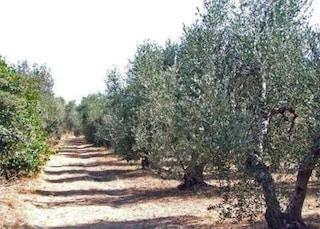 Livorno, trovata morta tra gli ulivi in Maremma: la pista del rave