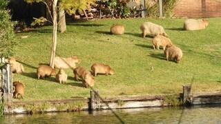 """Si chiamano Capibara, pesano 90 chili e stanno invadendo Buenos Aires: sono i moderni """"Che Guevara"""""""