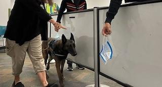 In servizio i primi Sniffer dogs, i cani che fiutano il Covid sono all'opera in aeroporto