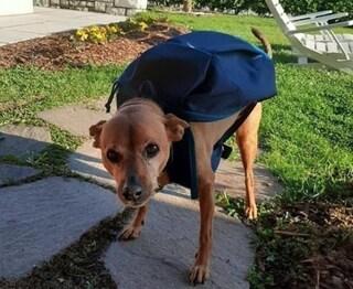 Morto Luigi, il 'cane-postino' diventato eroe durante il lockdown