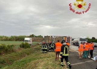 Camion si ribalta sull'A14 a Forlì, gravemente ferito l'autista: morte almeno tremila galline