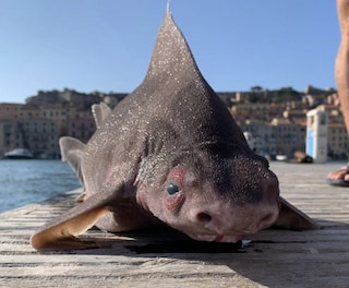 Isola d'Elba, trovato senza vita raro esemplare di pesce porco lungo più di un metro