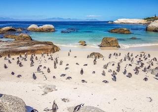 Sudafrica, sciame d'api uccide 63 pinguini in via d'estinzione: le carcasse su una spiaggia