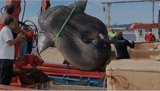 Spagna, catturato un pesce luna lungo 3 metri e pesante 2 tonnellate