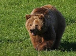 Trentino, faccia a faccia con un'orsa sulla Statale: investe e uccide l'animale