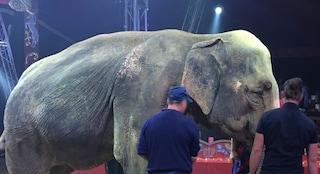 Morta Andra, elefantessa del Circo Orfei simbolo dello sfruttamento per il divertimento degli umani