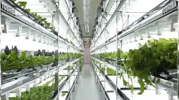 Lo stabilimento Toshiba di Yokosuka in Giappone trasformato in un centro per la coltivazione idroponica di lattuga.