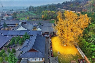 Cina: ha 1400 anni il Gingko Biloba che produce foglie d'oro