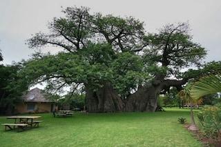 È il baobab più grande del mondo: non immaginerete mai cosa c'è al suo interno