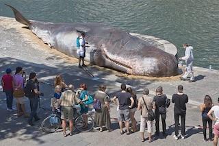 Parigi, una balena arenata sulle rive della Senna: l'opera d'arte che commuove