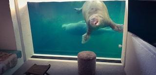 Il Pairi Daiza Resort ha una suite sottomarina con vista sulla vasca dei trichechi
