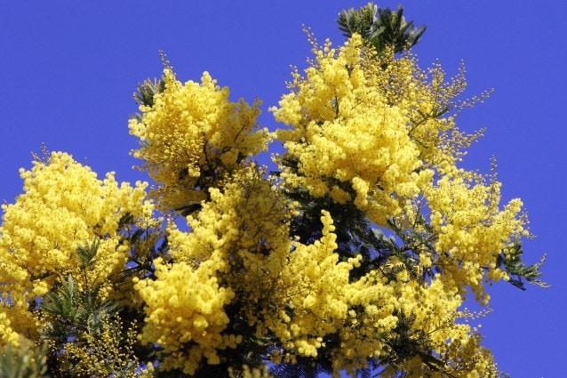 Festa Della Donna Perché Si Festeggia Regalando Le Mimose