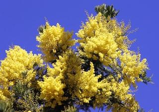 Festa della donna: perché si festeggia regalando le mimose?