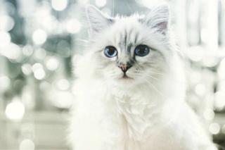 Choupette, il gatto di Karl Lagerfeld, guadagna 2 milioni in un anno (FOTO)